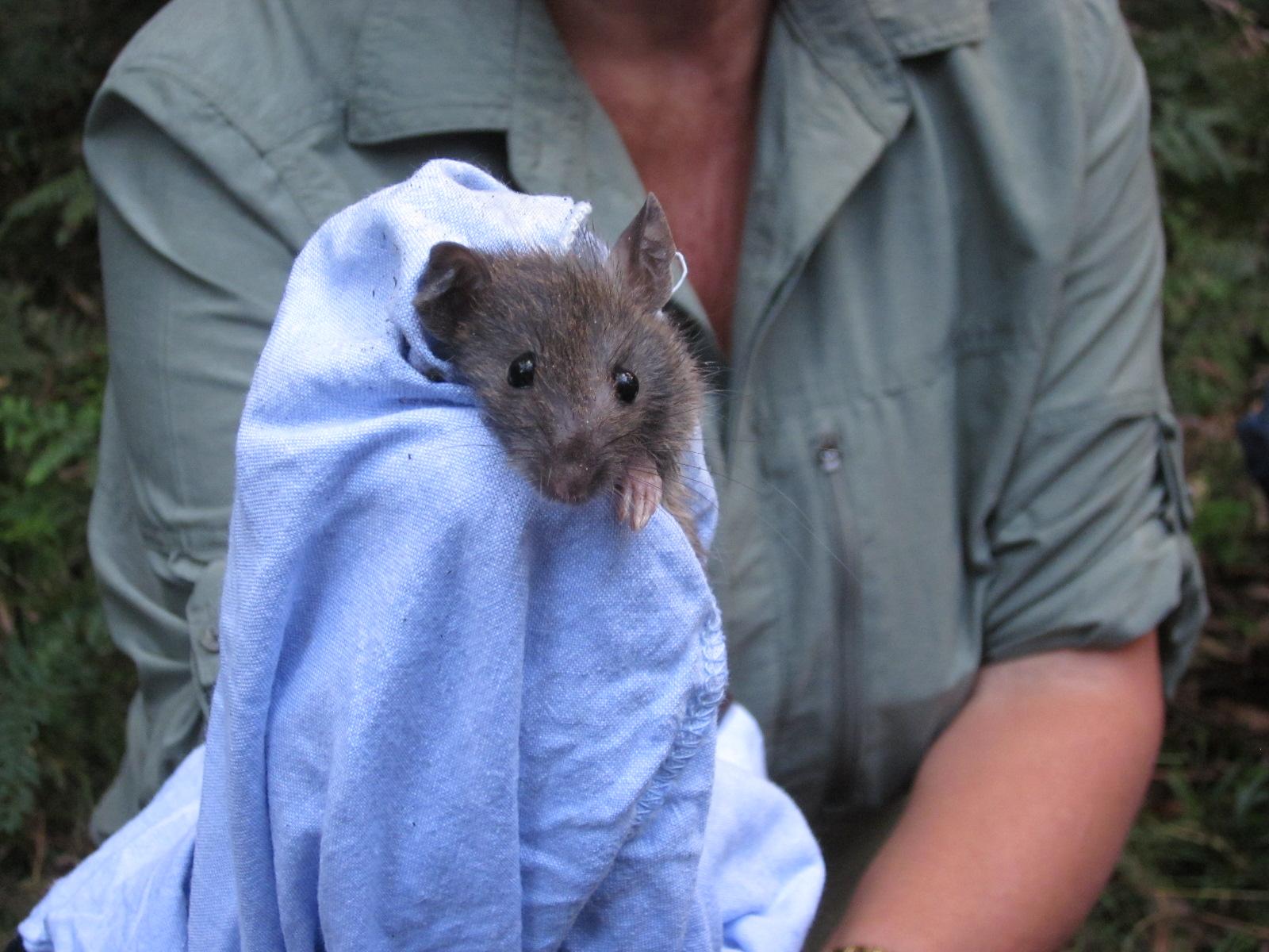 Bush Rat - Rattus Fuscipes
