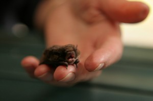 Little Forest Bat - Vespadelus vilturnus