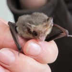Lesser Long-eared Bat - Nyctophilus geoffroyi