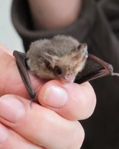 Lesser Long-eared Bat - Nyctophilus geoffroyi