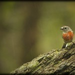 Beauty in the rain - Female Scarlet Robin
