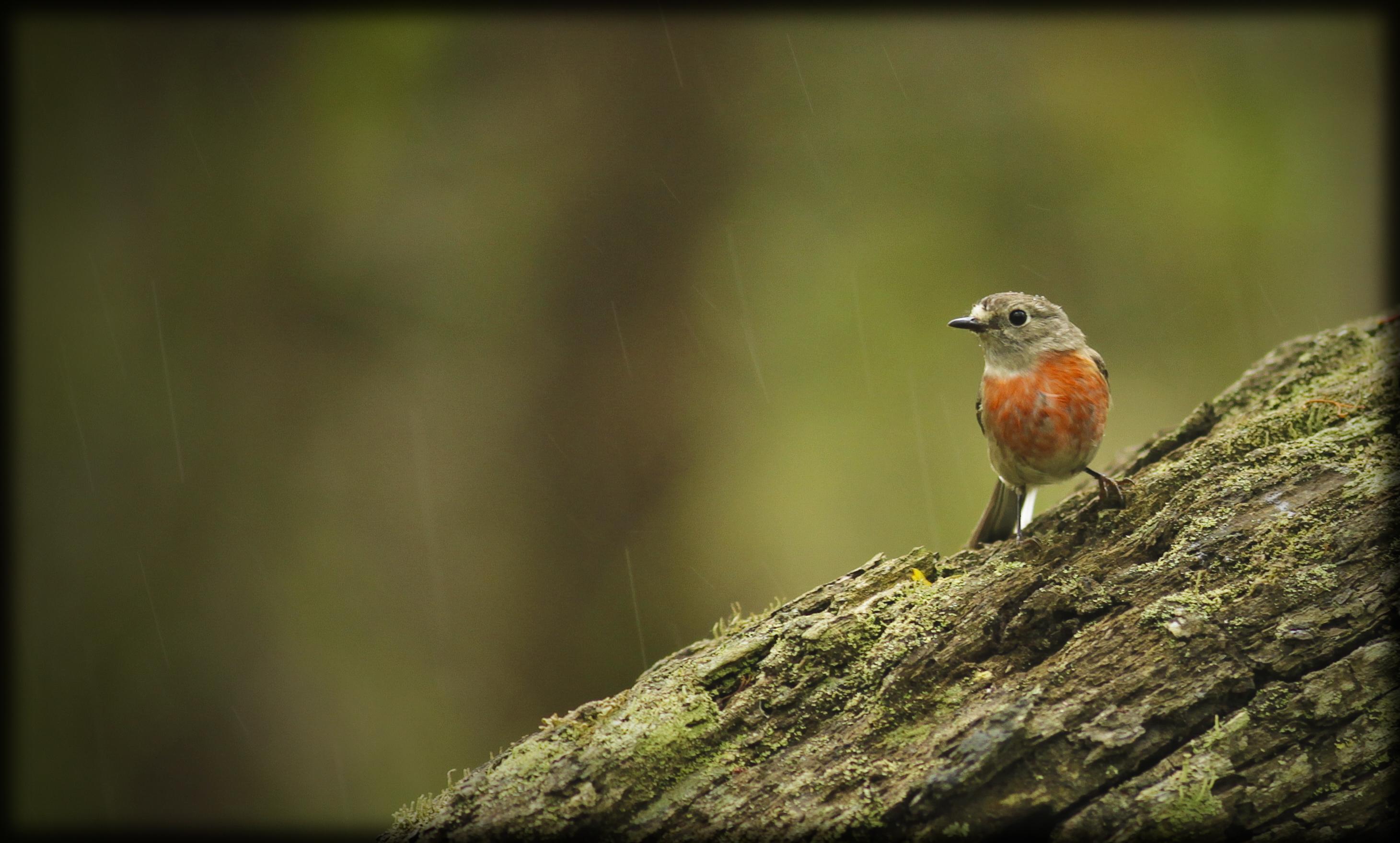 Beauty in the rain - Female Scarlet Robin