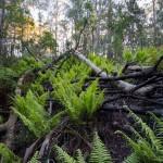 Chambers Ferns