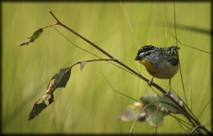 Chambers textures - Male Spotted Pardalote