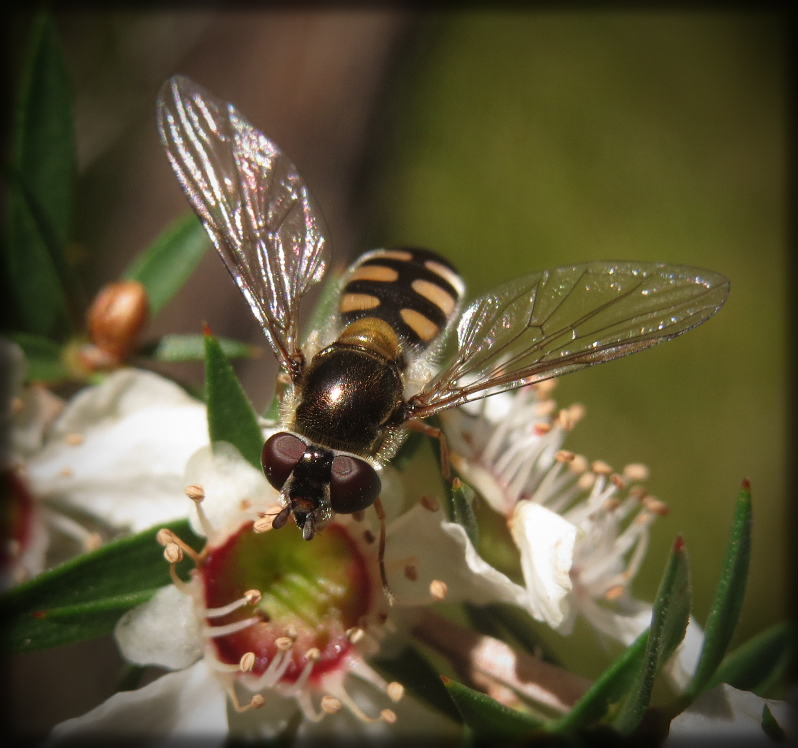 Common Hover Fly (Ischiodon scutellaris) on Prickly Teatree (Leptospermum continentale)