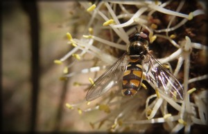 Common Hover Fly (Ischiodon scutellaris) on Small Grass-tree (Xanthorrhoea minor) ssp lutea!