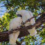 Cuddling Cockatoos
