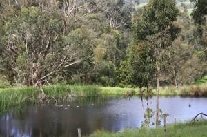 Ducks On the Dam