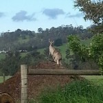 Kangaroo on the Mound