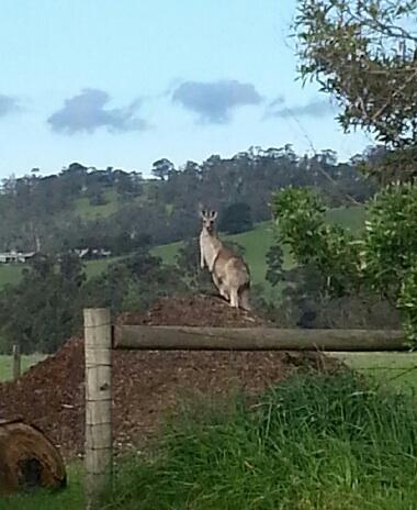 Kangaroo on the Mound