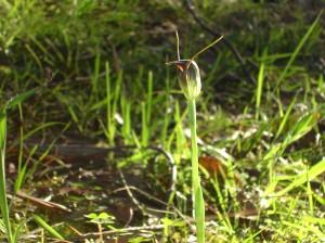 Maroonhood (Pterostylis pedunculata)