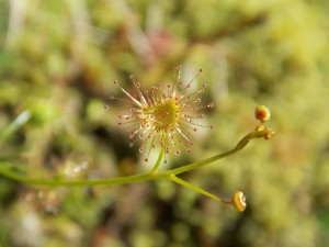 Sundew in the morning