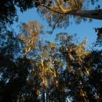 Tall timber at sunset